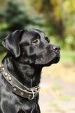Hundeschwarzer Labrador-Glanz in der Sonne Stockbild