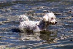 Hundeschwimmen Stockbilder