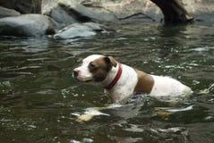 Hundeschwimmen in einem Fluss Stockbild