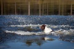 Hundeschwimmen im Wasser Stockfoto