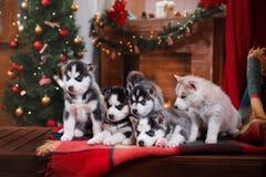 Hundesibirischer Schlittenhund Lizenzfreies Stockbild