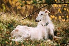 Hundesitzen russischer Barzoi-Wolfshund draußen Herbst Lizenzfreie Stockfotografie
