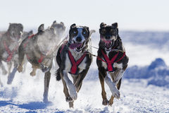 Hundesledding Rennen Stockfotos