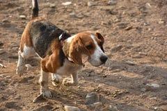 Hundespürhund Stockbilder