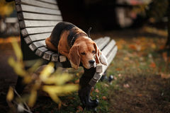 Hundespürhund, der in Herbstpark geht Stockfotografie