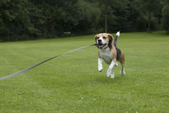 Hundespürhundlaufen im Freien in einem Park Lizenzfreies Stockbild