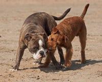 Hundespiel, das auf dem Strand 2 kämpft Lizenzfreie Stockbilder