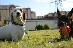 Hundespiel mit einander stockbild