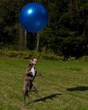 Hundespiel mit einem großen blauen Ball Lizenzfreie Stockfotos