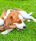 Hundespiele mit einem Steuerknüppel Lizenzfreie Stockfotos