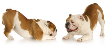 Hundespielen Stockfoto