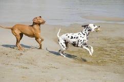 Hundespielen Stockbild
