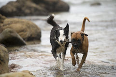 Hundespielen   Lizenzfreies Stockfoto