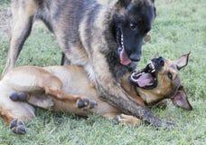 Hundespielen rau im Gras Lizenzfreies Stockbild