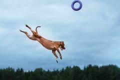 Hundespielen, springend, Pitbullterrier Stockfotografie