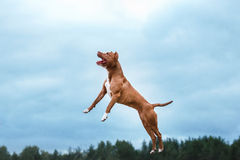 Hundespielen, springend, Pitbullterrier Lizenzfreie Stockfotografie