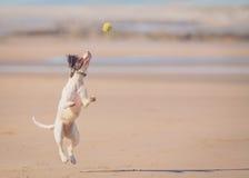 Hundespringender anziehender Ball Lizenzfreie Stockbilder