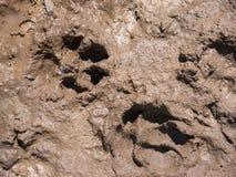 Hundespuren auf nassem Boden Stockbilder