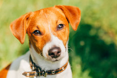 Hundesteckfassungsrussel-Terrier Stockfoto