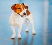 Hundesteckfassungsrussel-Terrier Stockfotografie