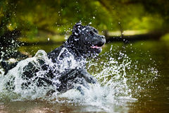 Hundestock Corso gelaufen in das Wasser Lizenzfreies Stockbild