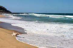 Hundestrand - Westie-Hund watet in den Schaum, wie Wellen in Ufer rollen und Köpfe eines Dampfschiffs herein und Schwimmer und To stockbild