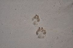 Hundetatze markiert auf dem Strand stockfotografie