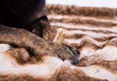 Hundetatzen, die einen Knochen halten Lizenzfreies Stockbild