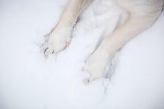 Hundetatzen im Schnee Lizenzfreies Stockfoto