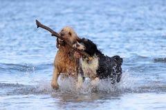 Hundeteamwork - Holen eines Stockes lizenzfreie stockfotos