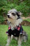 Hundetragende Kleidung Lizenzfreie Stockbilder