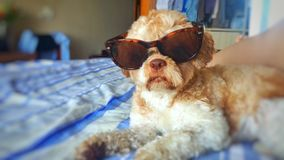 Hundetragende Sonnenbrillen lizenzfreie stockfotografie