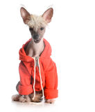 Hundetragende Strickjacke Lizenzfreie Stockfotos