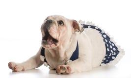 Hundetragender Badeanzug Lizenzfreies Stockfoto
