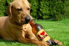 Hundetrinkendes Bier Lizenzfreie Stockfotografie