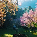 Hundeuhren in der rosa Blumenblüte arbeiten im Garten stockbild