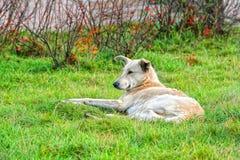 Hundeunbeaufsichtigte Lügen auf dem grünen Gras Stockfotografie
