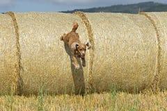 Hundewelpe cocker spaniel, das vom Weizenball springt Stockfotos