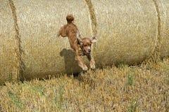 Hundewelpe cocker spaniel, das vom Weizenball springt Stockbilder