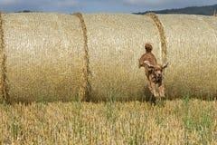 Hundewelpe cocker spaniel, das vom Weizenball springt Lizenzfreies Stockfoto