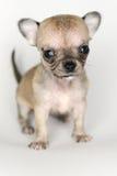 Hundewelpen-Chihuahuanahaufnahme von der Front Stockfotos