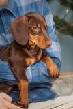 Hundewelpen-Zuchtdachshund an Hand eines Jungen, des Jugendlichen und seines Haustieres Stockfoto
