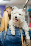Hundewest highland white terrier-Pflegen stockfotos
