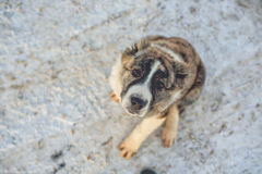 Hundewinter Russland-Zucht stockbilder