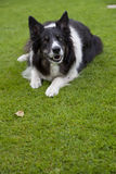 hundfår Royaltyfri Fotografi