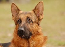 hundfår Arkivfoto
