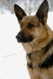 hundfår Royaltyfria Bilder