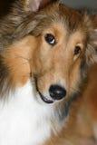 hundfårsheltie shetland arkivbild
