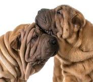 Hundförälskelse fotografering för bildbyråer