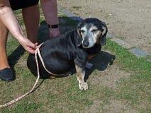 hundfettmätning Arkivbilder